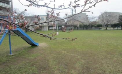 桜は、まだつぼみでした。